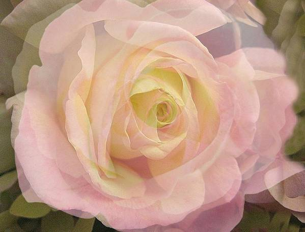 Rose Poster featuring the photograph Delicate Journey by Shirley Sirois