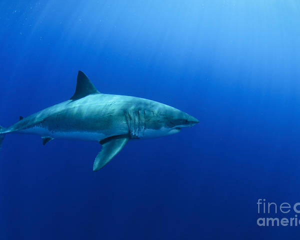Carcharodon Carcharias Poster featuring the photograph Female Great White Shark, Guadalupe by Todd Winner