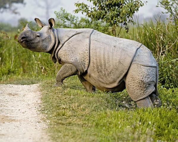 Rhinoceros Unicornis Poster featuring the photograph Indian Rhinoceros by Tony Camacho