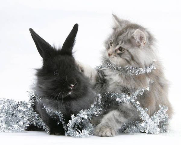 Animal Poster featuring the photograph Kitten And Rabbit Getting Into Tinsel by Mark Taylor