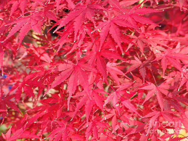 Poster featuring the photograph Red Leaves 1 by Rod Ismay