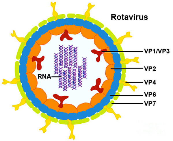 Microbiology Poster featuring the photograph Rotavirus by Science Source
