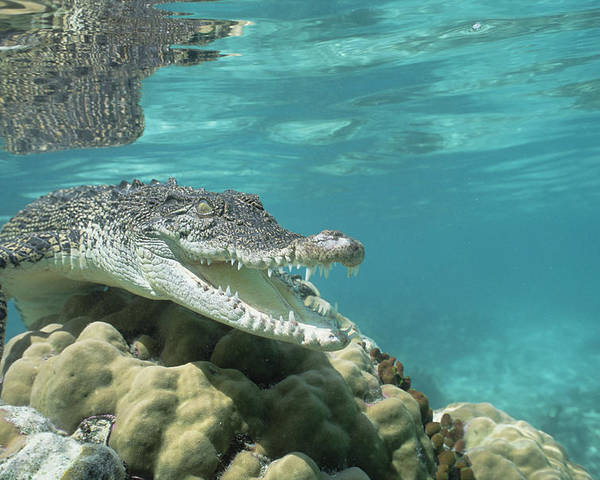 Mp Poster featuring the photograph Saltwater Crocodile Crocodylus Porosus by Mike Parry