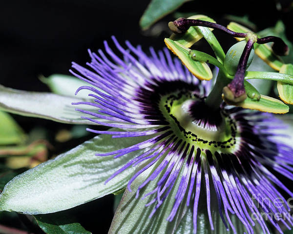 Beautiful Poster featuring the photograph Stamen Of A Passionflower by Sami Sarkis
