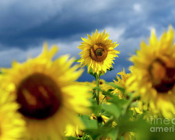 Agriculture Agricultural Crop Cultivate Cultivation Rural Farming Field Countryside Environment Sunflower Yellow Flowers Oil Plant Poster featuring the photograph Sunflowers by Bernard Jaubert