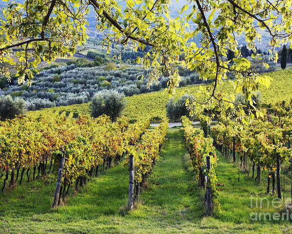 Agriculture Poster featuring the photograph Vineyards And Olive Groves by Jeremy Woodhouse