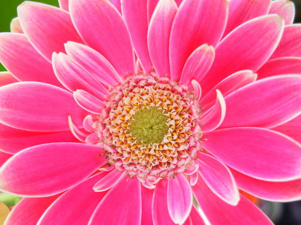 Gerbera Photographs Poster featuring the photograph 2159 by Kimberlie Gerner
