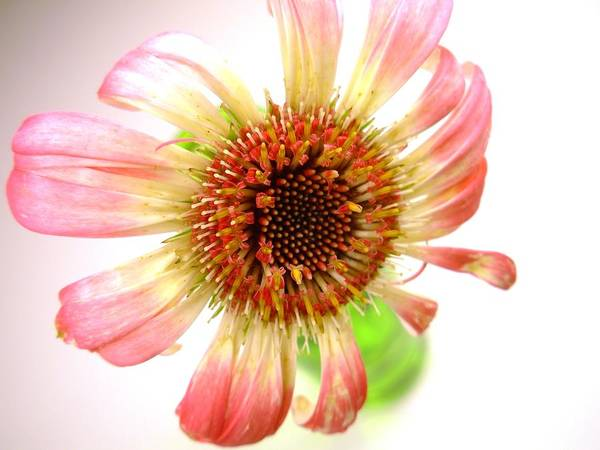 Gerbera Photographs Poster featuring the photograph 2269c-001 by Kimberlie Gerner
