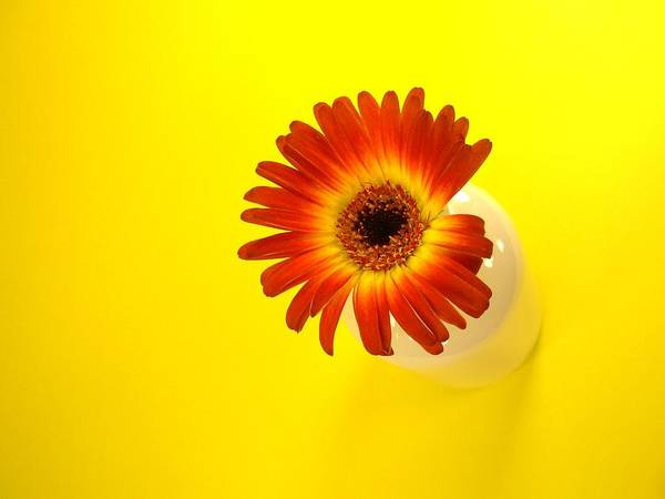 Gerbera Photographs Poster featuring the photograph 2357c by Kimberlie Gerner