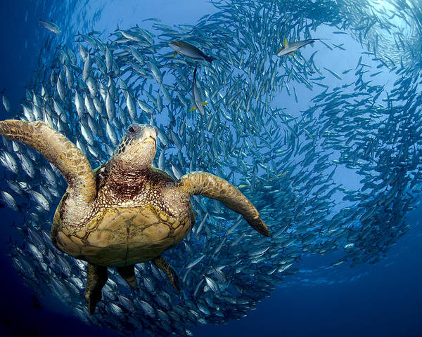 Amazing Poster featuring the photograph Green Sea Turtle by Dave Fleetham