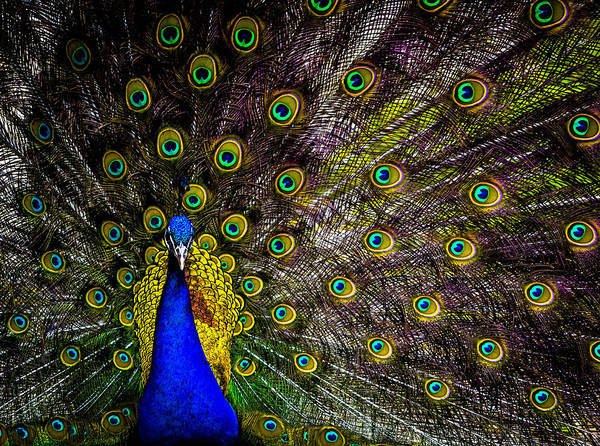 Poster featuring the photograph Peacock by Brian Stevens