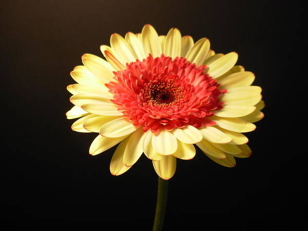 Gerbera Photographs Poster featuring the photograph 2984 by Kimberlie Gerner