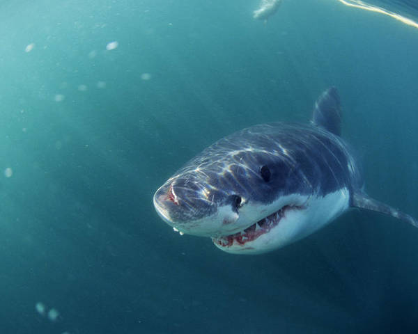 Carcharodon Carcharias Poster featuring the photograph Great White Shark by Alexis Rosenfeld