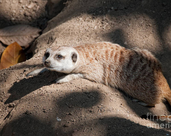 Animals Poster featuring the digital art Meerkat by Carol Ailles