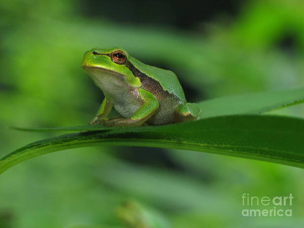Nature Poster featuring the photograph Tree Frog by Odon Czintos