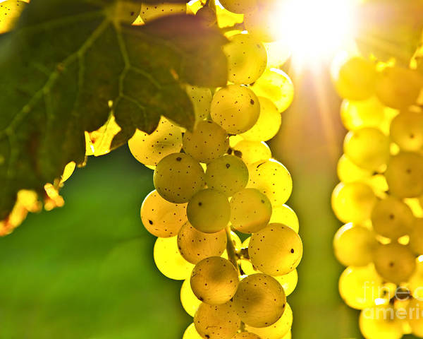 Green Poster featuring the photograph Yellow Grapes by Elena Elisseeva