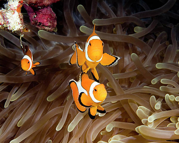 Underwater Photography Poster featuring the photograph Wakatobi by Larry Gohl