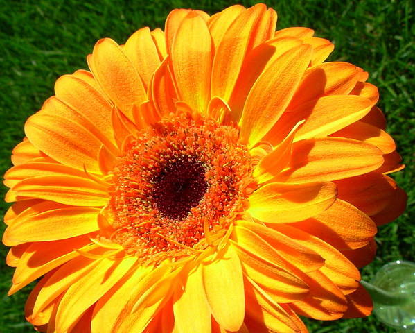 Gerbera Photographs Poster featuring the photograph 3412-001 by Kimberlie Gerner