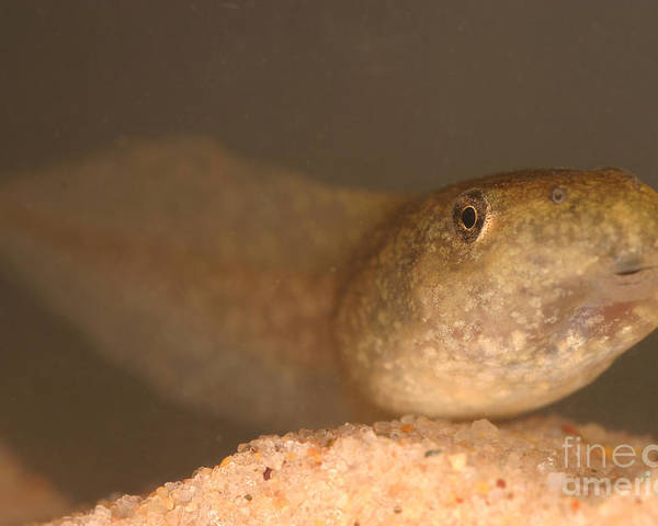 Animal Poster featuring the photograph Bullfrog Tadpole by Ted Kinsman