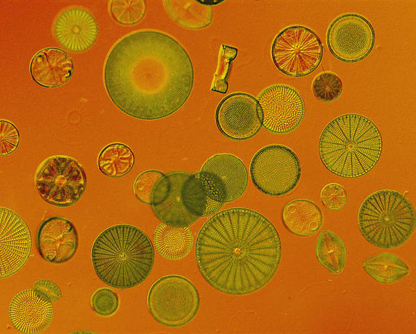 Diatoms Poster featuring the photograph Close View Of Diatoms by Darlyne A. Murawski