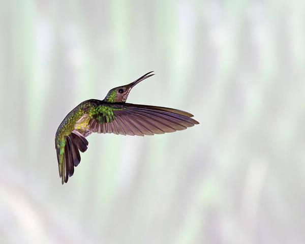 Horizontal Poster featuring the photograph Hummingbird by David Tipling