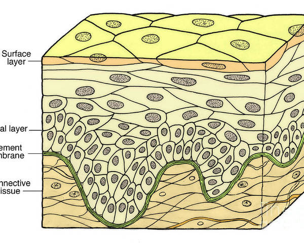 Medical Poster featuring the photograph Illustration Of Stratified Squamous by Science Source