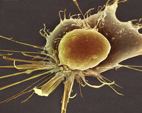 Cell Poster featuring the photograph Stem Cell, Sem by