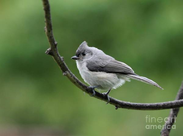 Nature Poster featuring the photograph Tufted Titmouse by Jack R Brock