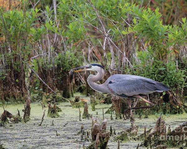 Nature Poster featuring the photograph Great Blue Heron by Jack R Brock