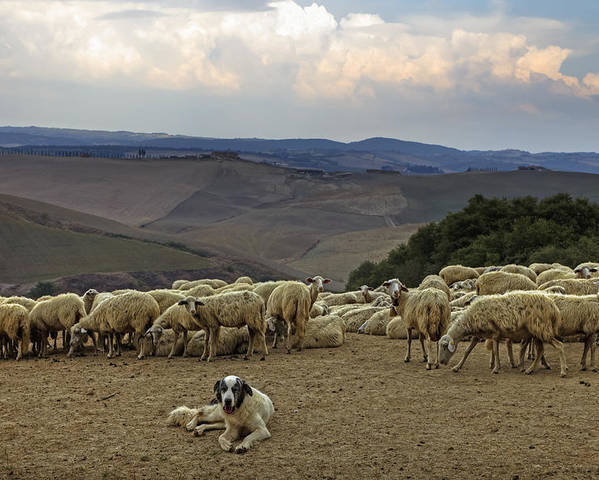 Tuscany Poster featuring the photograph Flock Of Sheep by Joana Kruse