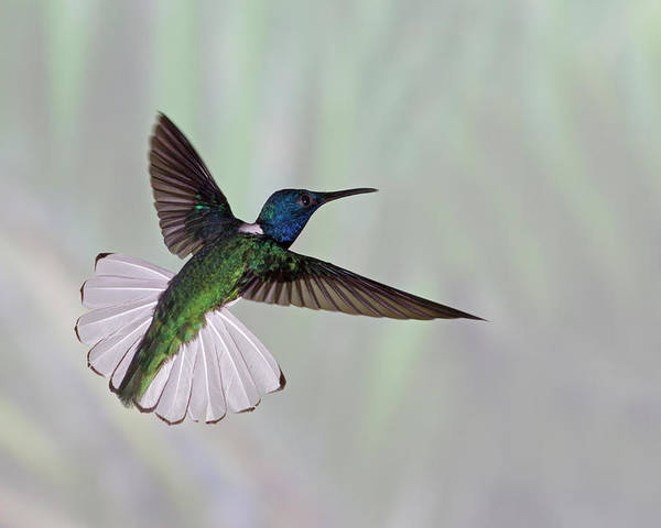 Horizontal Poster featuring the photograph Hummingbird by David Tipling