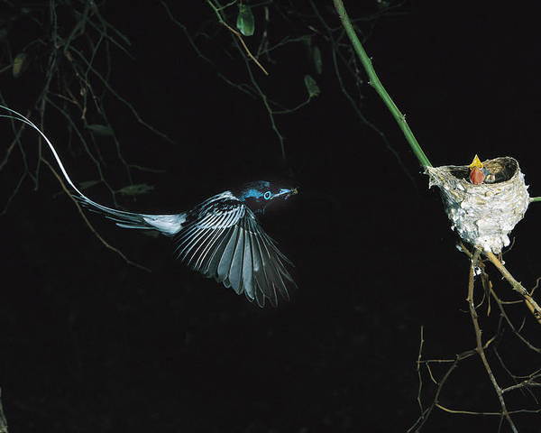 Mp Poster featuring the photograph Madagascar Paradise Flycatcher by Cyril Ruoso
