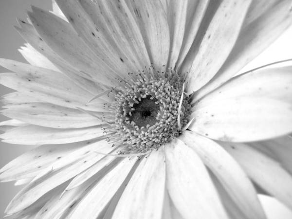 Gerbera Photographs Poster featuring the photograph 5497c2 by Kimberlie Gerner