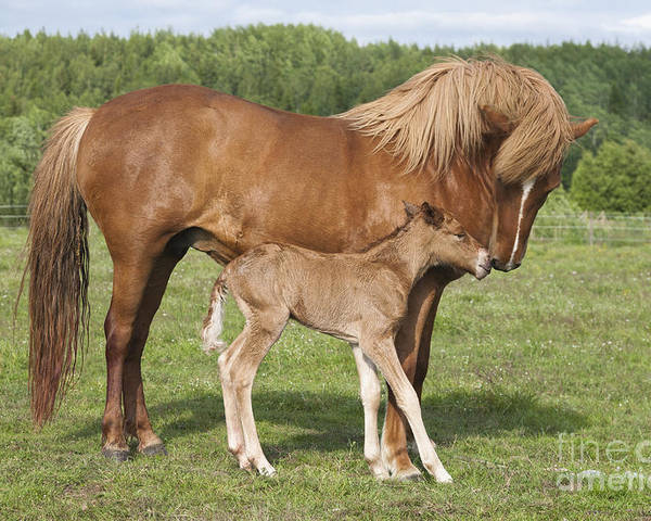 Baby Poster featuring the photograph Chestnut Icelandic Horse With Newborn Foal by Kathleen Smith