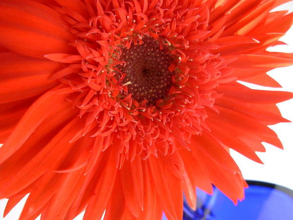 Gerbera Photographs Poster featuring the photograph 6448 by Kimberlie Gerner