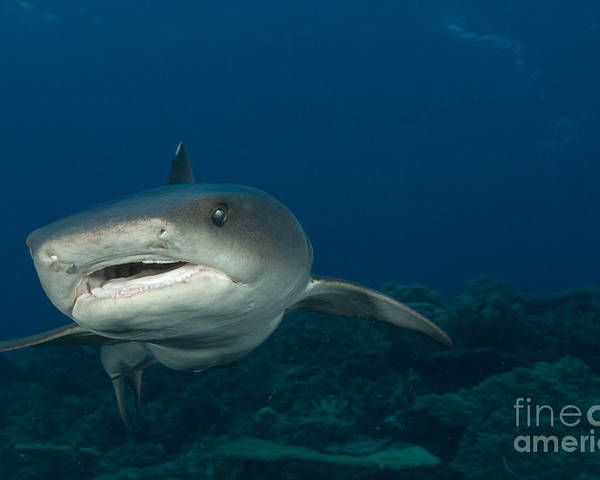 Kimbe Bay Poster featuring the photograph Whitetip Reef Shark, Kimbe Bay, Papua by Steve Jones