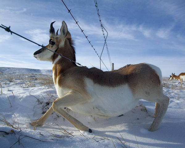 Outdoors Poster featuring the photograph A Barbed Wire Fence Is An Obstacle by Joel Sartore