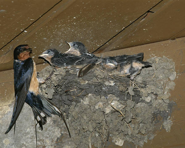 Hirundo Rustica Poster featuring the photograph A Barn Swallow Mother Feeds Her Young by Norbert Rosing