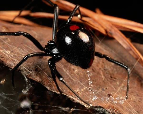 black Widow Spiders Poster featuring the photograph A Black Widow Spider Latrodectus by George Grall