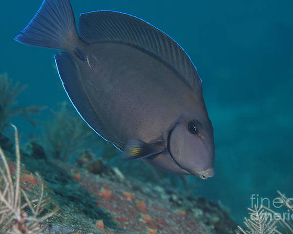 Sea Life Poster featuring the photograph A Blue Tang Surgeonfish, Key Largo by Terry Moore