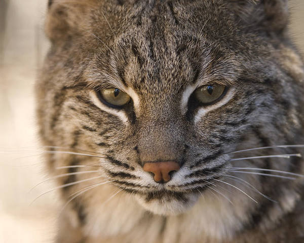 Photography Poster featuring the photograph A Bobcat At The Rolling Hills Zoo by Joel Sartore