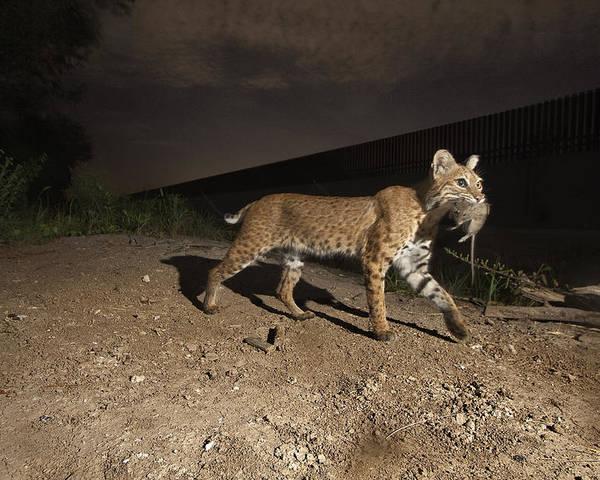 Outdoors Poster featuring the photograph A Bobcat Crosses A Rio Grande Border by Joel Sartore