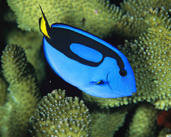 Pacific Islands Poster featuring the photograph A Bright Blue Palette Surgeonfish by Tim Laman