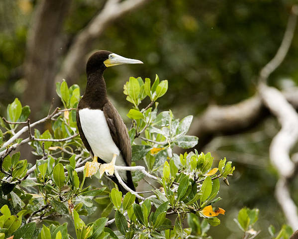 Man Of War Cay Poster featuring the photograph A Brown Booby Sula Leucogaster by Tim Laman