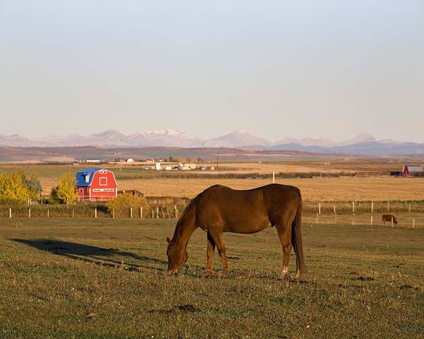 Alberta Poster featuring the photograph A Brown Horse Grazing In A Field In by Michael Interisano
