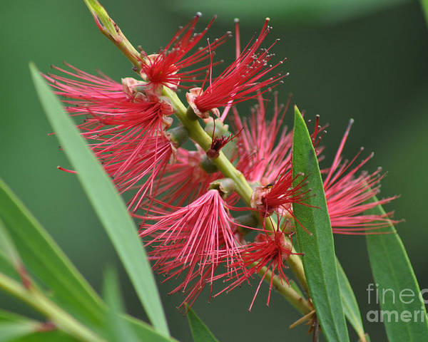 Bottle Brush Poster featuring the photograph A Brush With Beauty by Joanne Kocwin