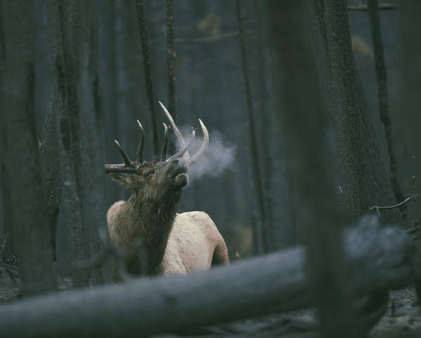 Animals Poster featuring the photograph A Bull Elk Bugles, Emitting A Frosty by Michael S. Quinton