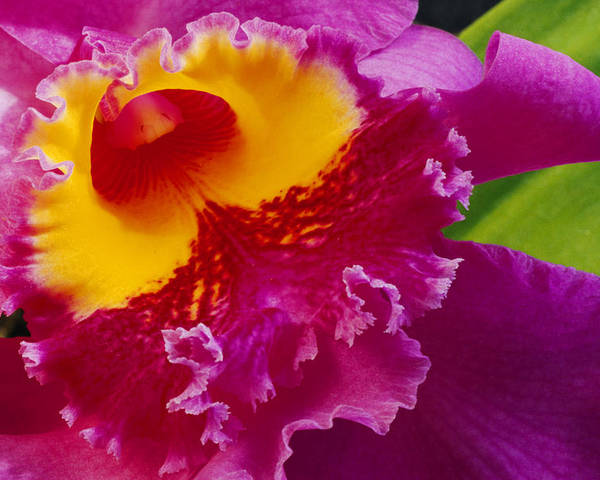 North America Poster featuring the photograph A Close View Of A Bright Pink Cattleya by Jonathan Blair