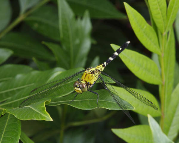Day Poster featuring the photograph A Dragonfly Resting On A Leaf by George Grall