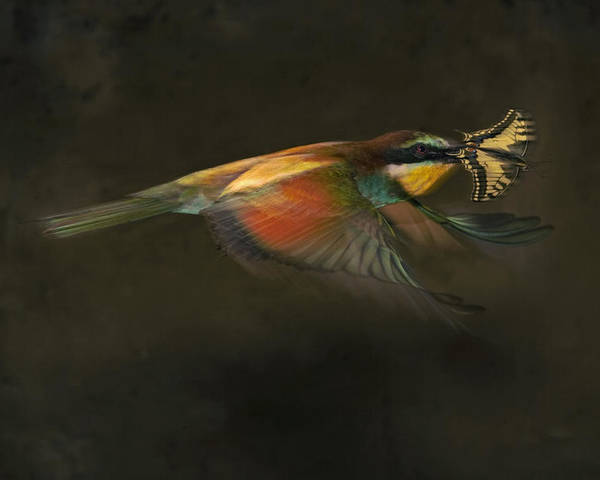 Two Animals Poster featuring the photograph A Female Bee Eater Plucks A Butterfly by Joe Petersburger